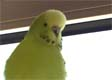 Chloe (budgie star of lunargirl) sadly now gone to budgie heaven.